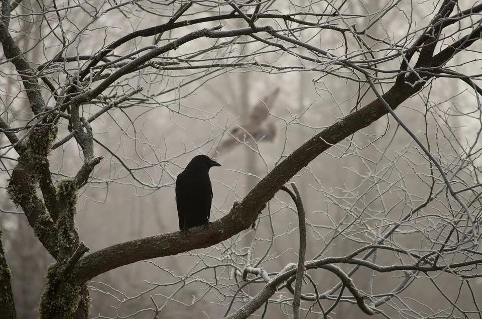 crow-2397589_960_720
